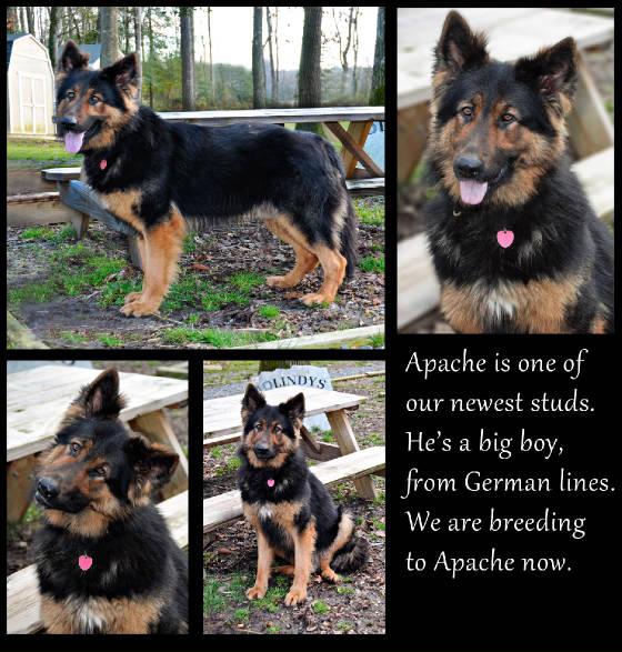 Biden German Shepherd Dog and New