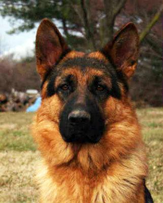 ... German Shepherds New jersey german shepherd puppies breeders nj puppy