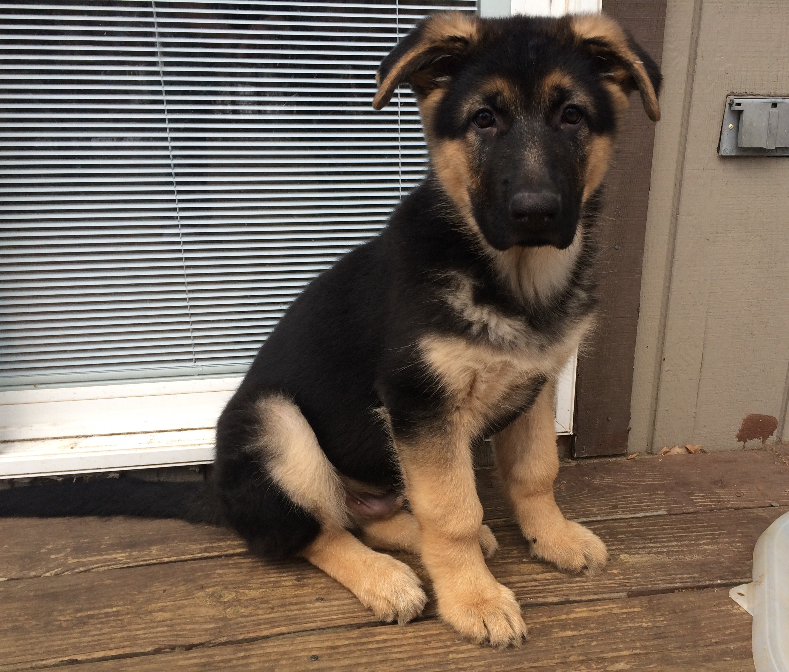 Pa Large Boned German Shepherd Puppies Pennsylvania Breeder